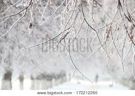 Branches bushes covered with hoarfrost fluffy, winter time idea