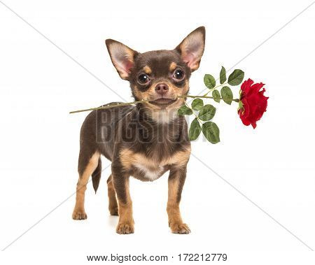 Pretty brown chihuahua dog standing and facing the camera holding a red rose in its mouth isolated on a white background