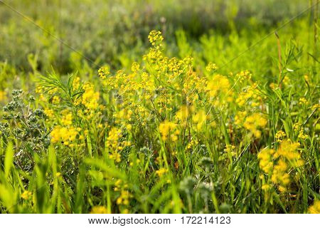 Yellow rapeseed flowers (Brassica napus) in the green meadow.