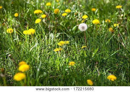 Dandelions in the green meadow in a sunny day.
