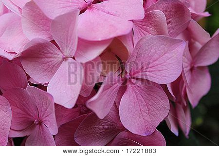 Closeup of Delicate Pink Flowers
