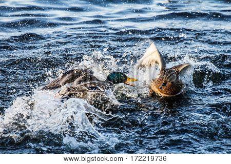 Quarrel between a female and a male mallard or wild duck (Anas platyrhynchos)