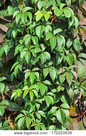 Wild Vine Leaves