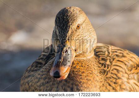 Female mallard or wild duck (Anas platyrhynchos)