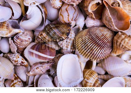 Seashells background macro shot of beautiful seashells