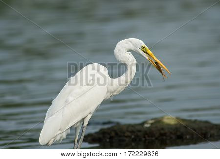 egret eating fish in water land