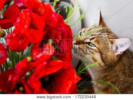 Tabby cat sniffs at bouquet of red poppies indoors