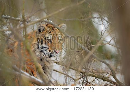Siberian Tiger Looking Through Bush In Winter Time