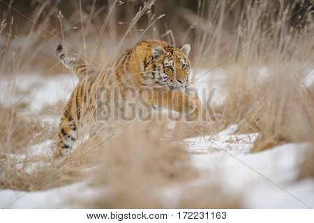 Tiger Jumping In Yellow Grass In Winter