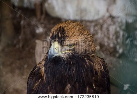 Eagle head brown bird of prey forest