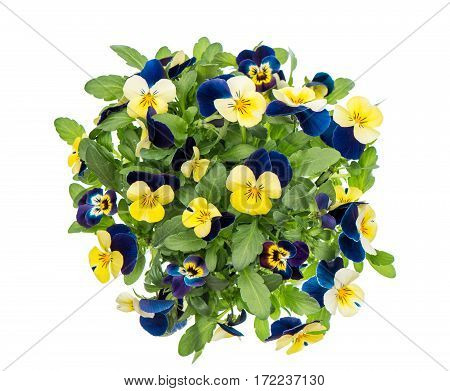 Pansy spring flowers isolated on white background. Blue and yellow blossoms