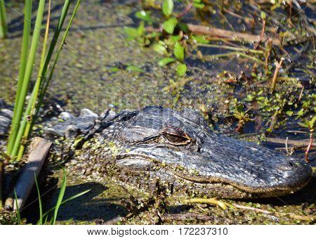 framed alligator face in water along bank