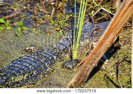 taken from behind alligator in water along bank