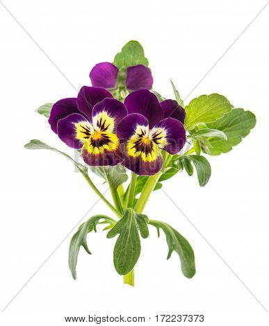 Pansy flowers isolated on white background. Violet and yellow spring viola