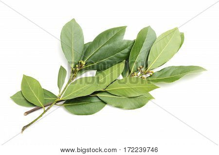 Sprig of laurel isolated on a white background