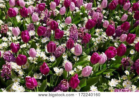 Beautiful tulips in the spring time.Colorful tulips background.