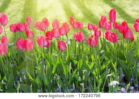 Beautiful pink tulips in the spring time. Flowers background.