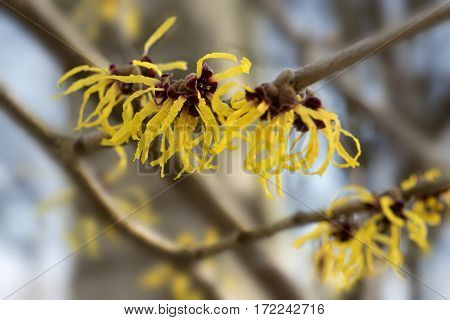 Blooming witch hazel or hamamelis shrub shows yellow flowers in winter leaves and bark are used as natural remedies