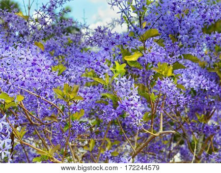 A Queen's Wreath vine Petrea volubilis showing enormous flower clusters almost completely covering the plant. Other names include Florida Wisteria Sandpaper Vine and Bluebird Vine