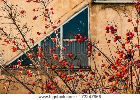 Bush with small orange berries is afore building with big window