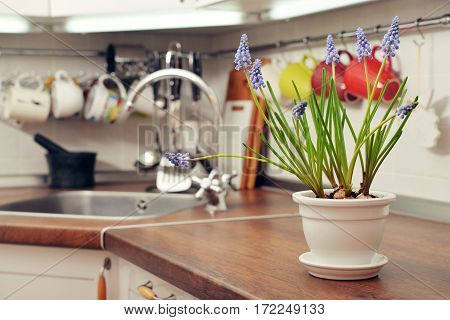 Blooming Muscari In Flower Pot