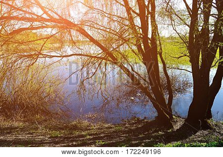 Spring water landscape - willow under spring sunshine on the bank of the small river at spring sunset. Colorful spring landscape view of spring nature. Spring water background