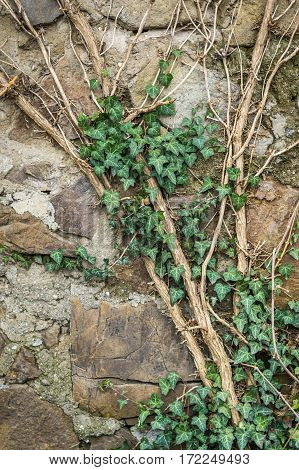 Creeping Green Ivy On The Stone Wall.