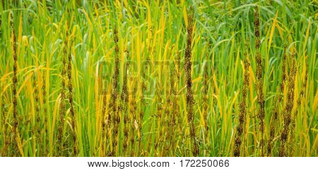 Lake river sedge closeup at autumn. Colorful grass background.