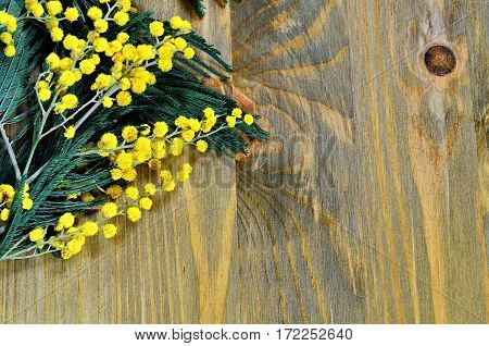 Mimosa spring flowers on the dark wooden background - spring background with spring mimosa flowers, colorful spring backgorund