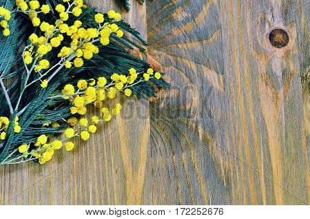 Spring background - spring mimosa flowers on the dark wooden surface. Closeup of spring mimosa flowers on the wooden  surface. Focus at the mimosa flowers. Colorful spring background with yellow mimosa flowers