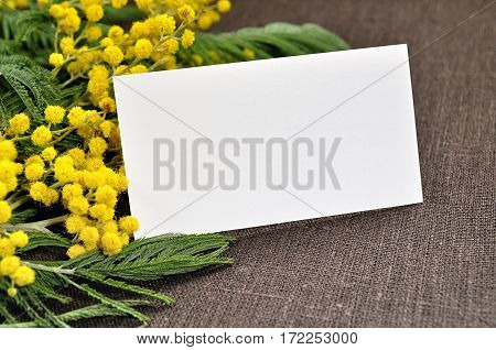 Spring background - spring mimosa flowers with white blank card  for spring holiday text. Spring colorful nature background with spring flowers of mimosa