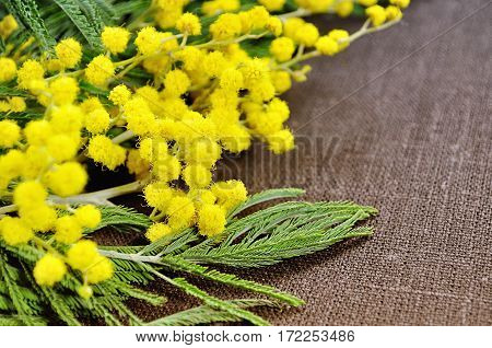 Spring background - mimosa spring flowers on brown linen surface - spring flat lay background with yellow spring mimosa flowers. Spring background with free space for text