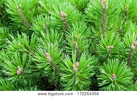 Mountain pine dwarf tree - closeup natural view. Nature background of mountain pine tree branches, nature mountain pine tree background