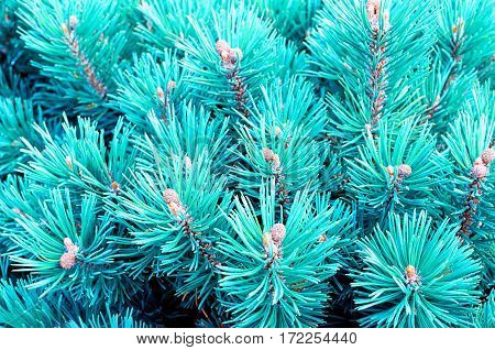 Mountain pine - closeup view of blue dwarf pine tree. Nature background with branches of mountain pine tree. Closeup of blue pine tree branches