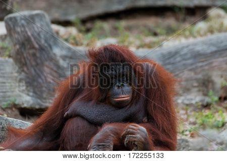 Orangutan Or Pongo Pygmaeus.