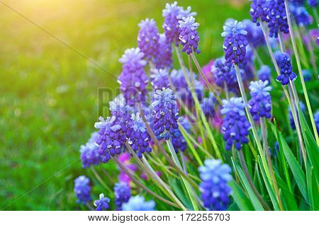 Spring flowers muscari - flower natural spring background with blooming spring flowers of muscari. Closeup of spring flowers in sunny day. Spring flowers on the flowerbed