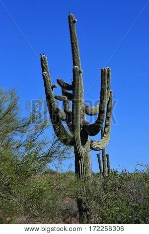 Prescott USA - july 7 2016 : Saguaro cactus in the countryside