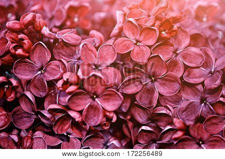 Spring background - dark red lilac spring flowers under spring soft light. Soft focus and creative filter processing. Spring background of spring nature. Spring view of lilac red flowers. Spring landscape