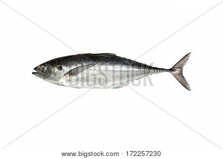 torpedo scad (Finny scad Finletted mackerel scad) isolated on white background