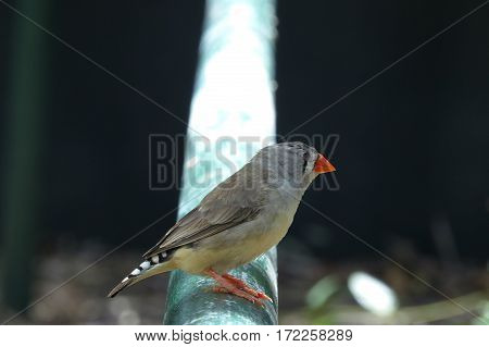 Zebra Finch Australian native bird animal perched on a railing