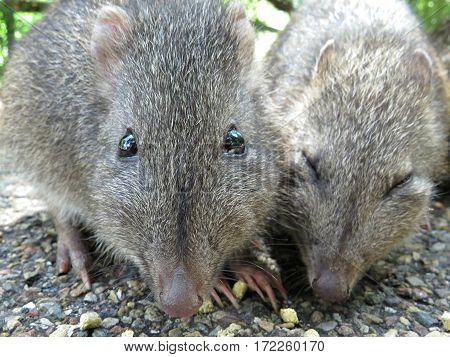 Potoroo Bandicoot Australian wildlife animal rodent native marsupial Australia. Let me have some too!