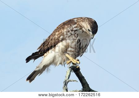 Perched Juvenile Red-tailed Hawk (buteo jamaicensis) with blue sky