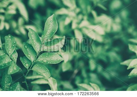 Water drops on leaves, Natural green background, vintage tone