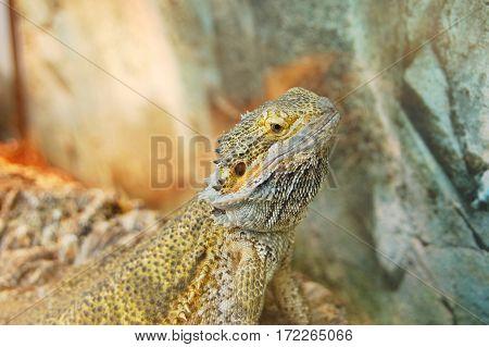 Frilled neck lizard (Chlamydosaurus kingii) on rock