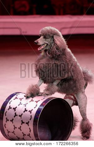 ST. PETERSBURG, RUSSIA - FEBRUARY 3, 2017: Trained dog in the dress rehearsal of the circus program CircUS 2.0. The program reflects the vision of circus art of XXI century