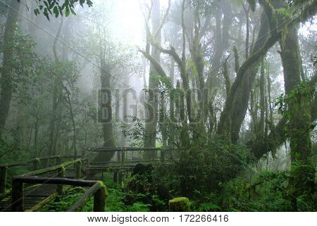 Wooden path covered by moss in misty tropical green forest Ang Ka Nature Trail Doi Inthanon National Park Chiang Mai THAILAND
