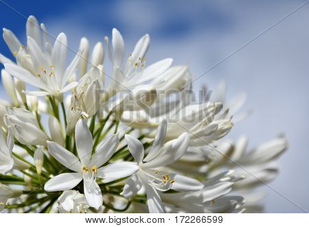 Closeup photo of Lily of the Nile also called African White Lily flower (Agapanthus Africanus) in Australia. White Agapanthus flowering plant in summer garden.