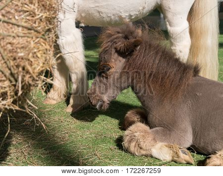 Close up Shetland pony horse sit on artificial grass