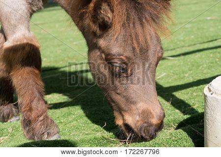 Close up Shetland pony horse on artificial grass