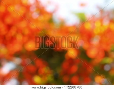 blur orange flowers, (Flam-boyant, The Flame Tree, Royal Poinciana), abstract nature background
